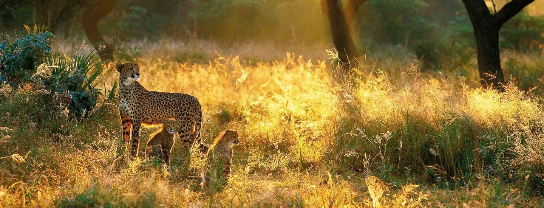 Leopard with kids roaming in African Splendour