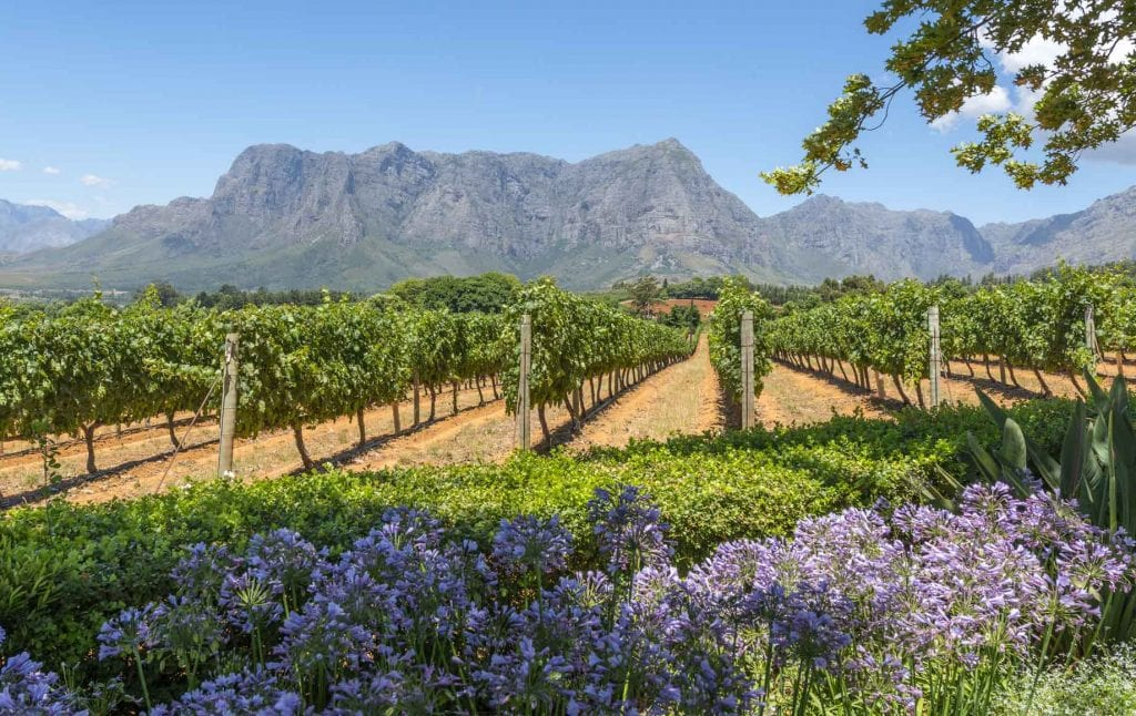 Lavender and farm fields in a sunny day at Cape Winelands