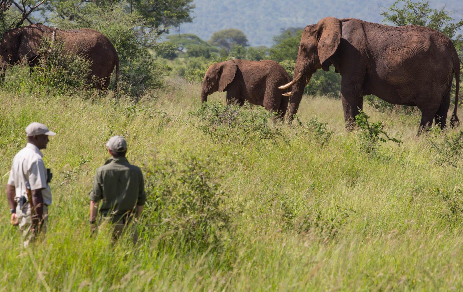 Seeing walking elephants nearby at Tarangire Treetops Lodge