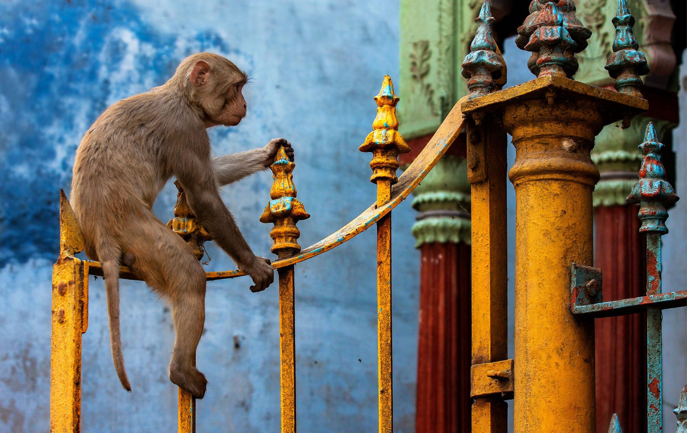 Monkey outside Varanasi Temple