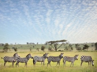 Zebras during an African Safari