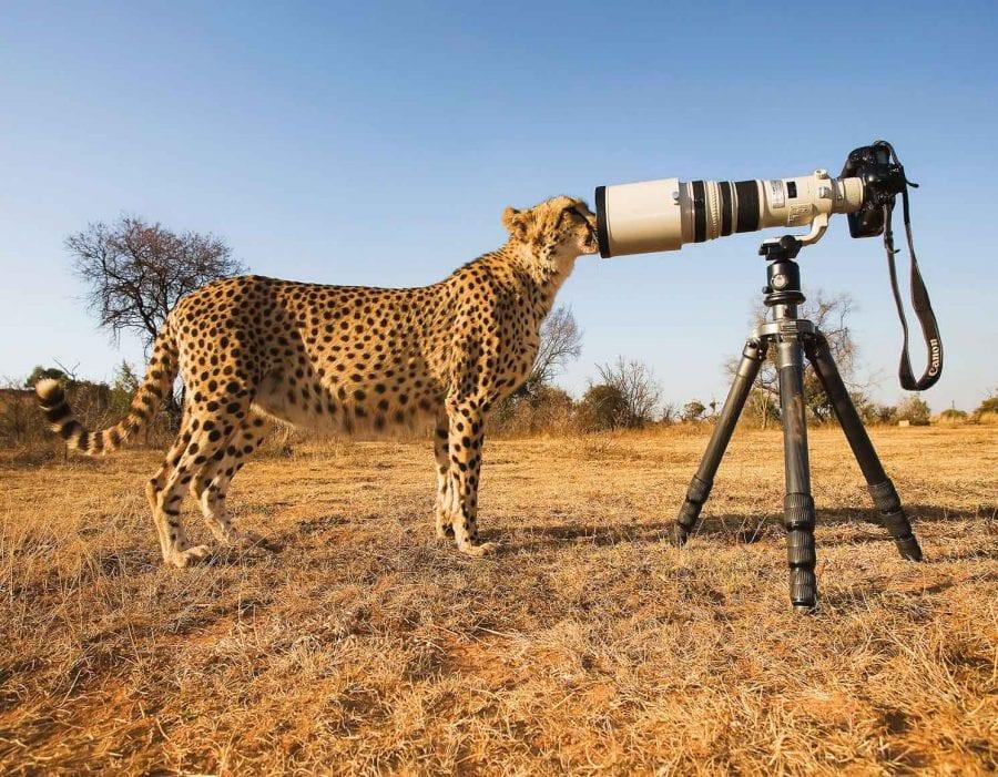 Cheetah & Camera