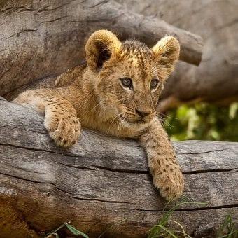 Lion cub on tree