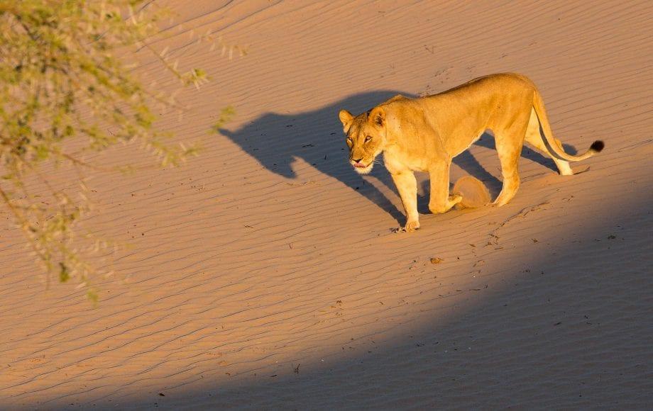 Lion at Namibia