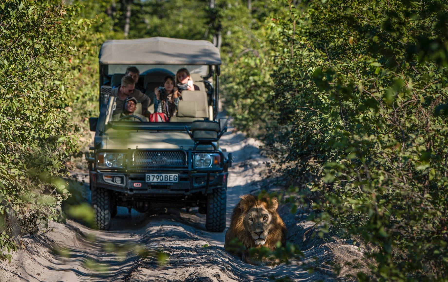 Lions during safari at Sable Alley - Okavango Delta, Botswana