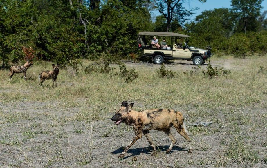 African wild dog at Sable Alley - Okavango Delta, Botswana