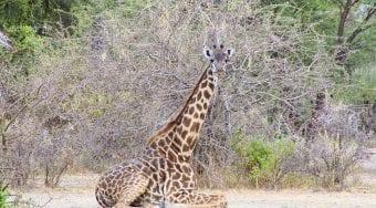 Simkins Giraffe