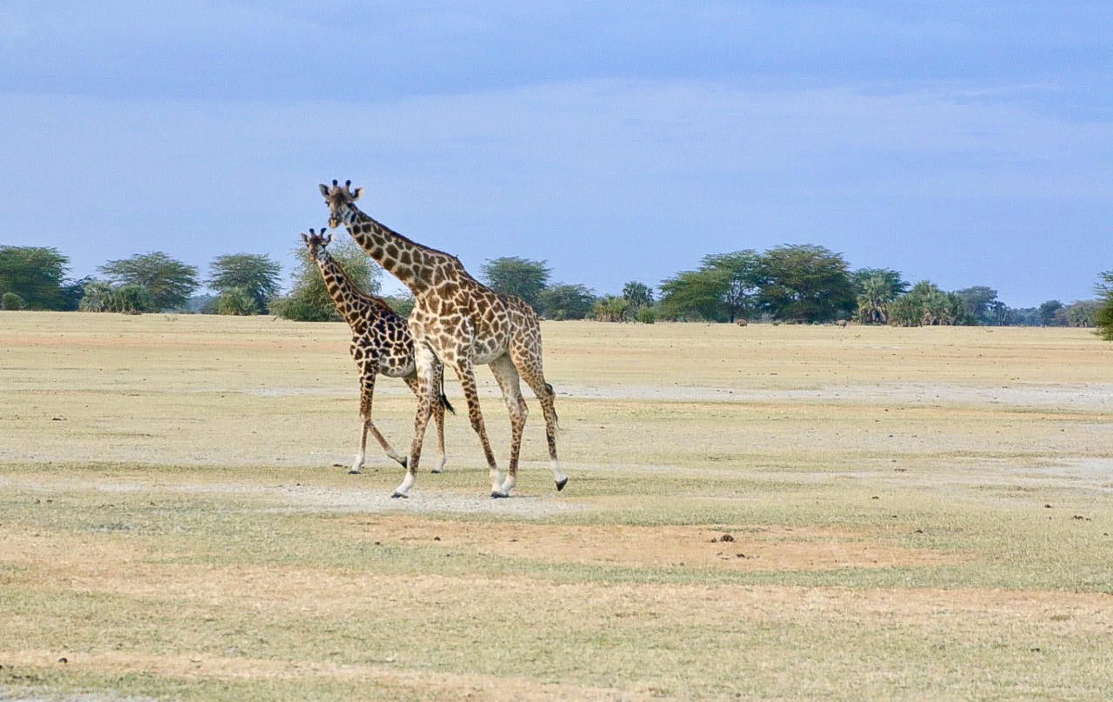Two giraffes walk through a field