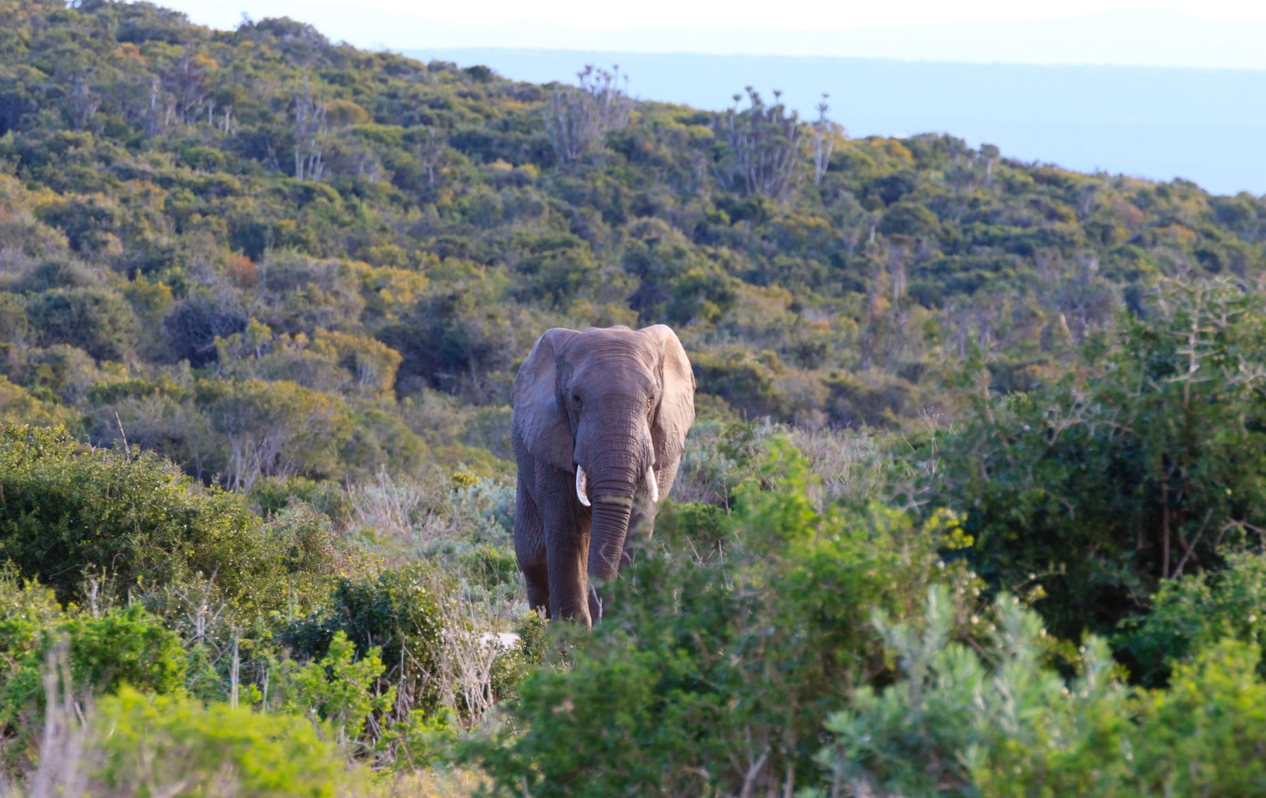 Elephant in Eastern Cape