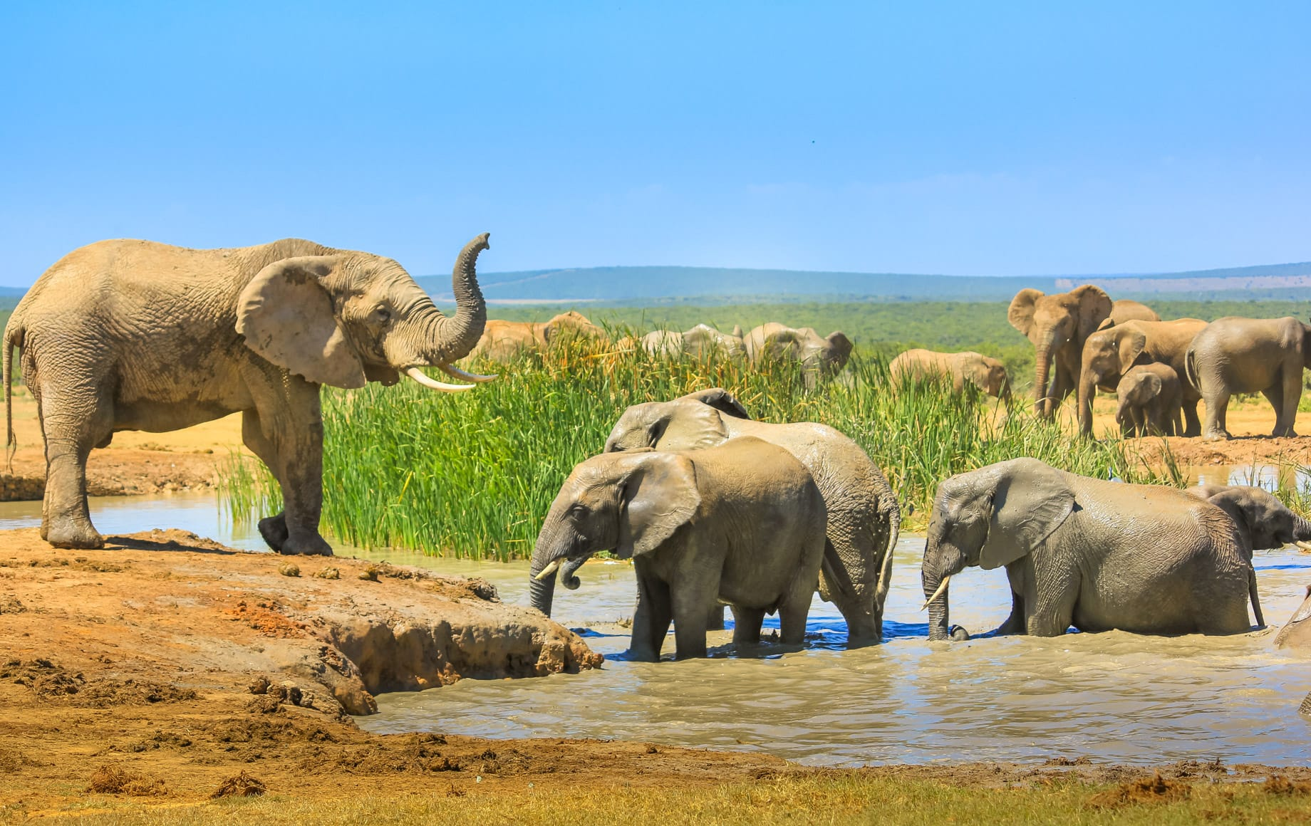 African Elephants at Waterhole Addo Elephant National Park Eastern Cape, South Africa