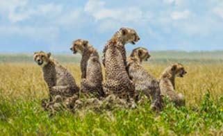 A pack of Cheetah on Safari