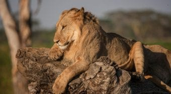 A lion lays on a rock