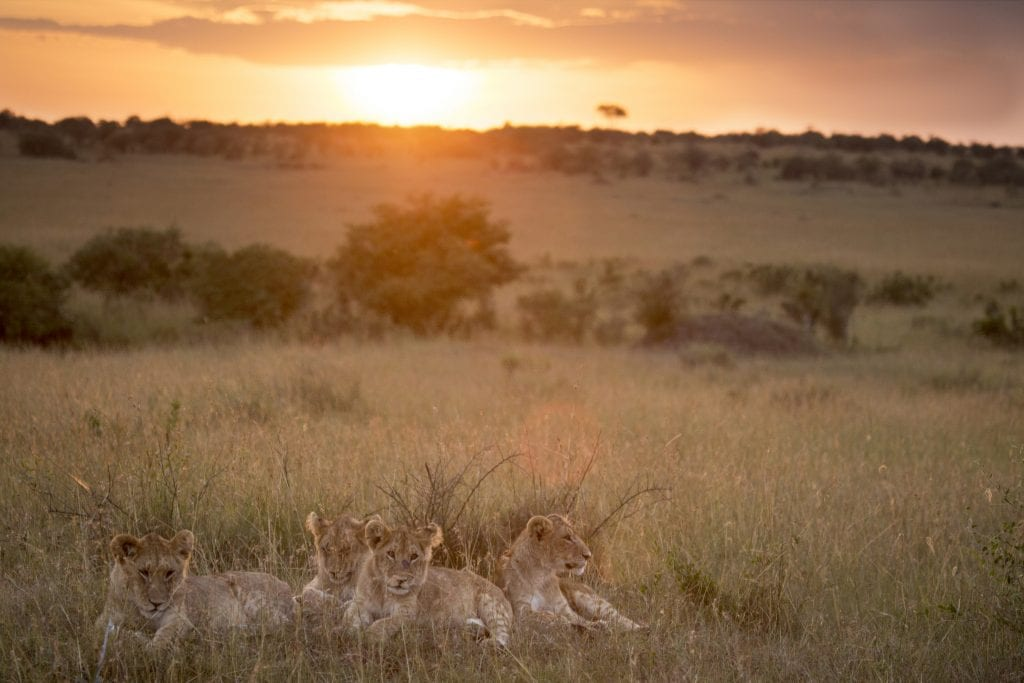 Lions in the grass at sunset