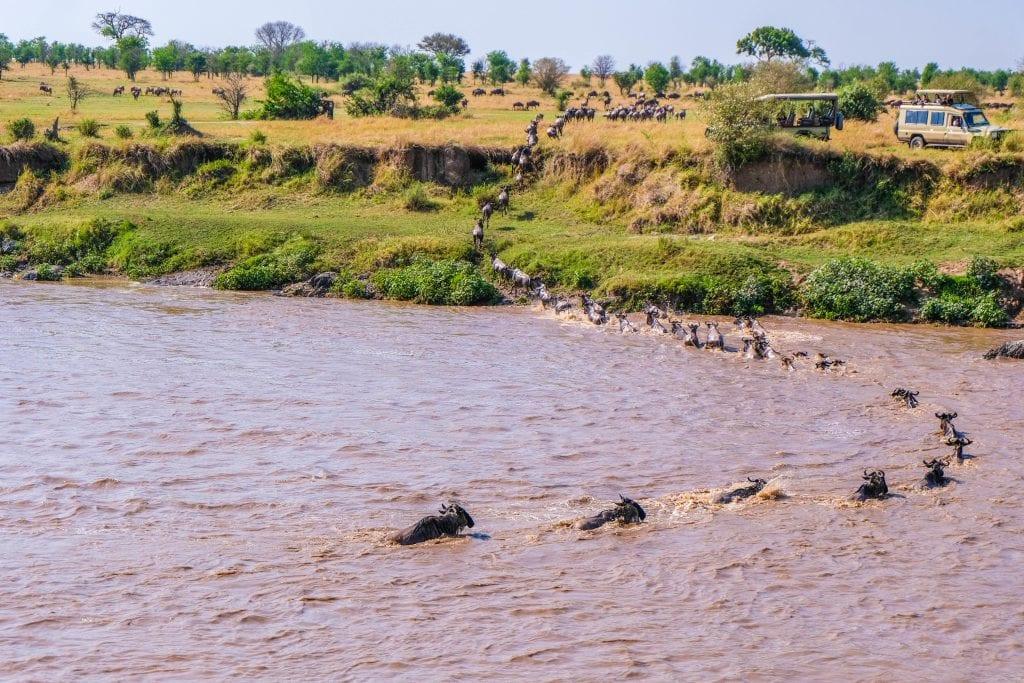 Wildebeest cross the Mara River in Kenya