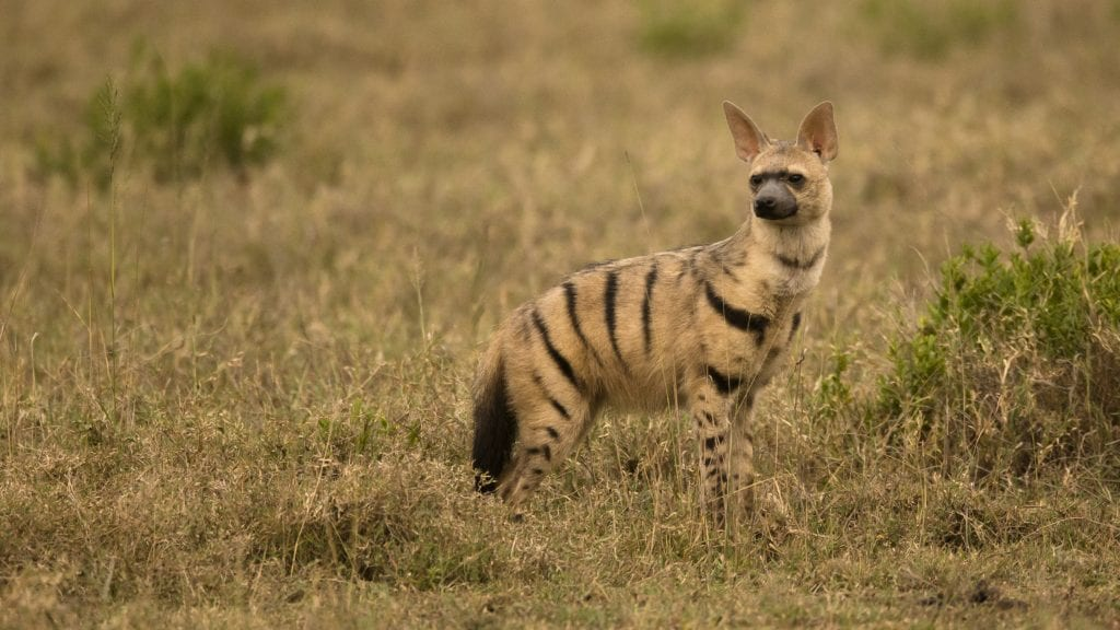 An aardwolf on the African savannah