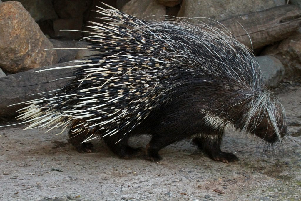 A porcupine walking on rocks