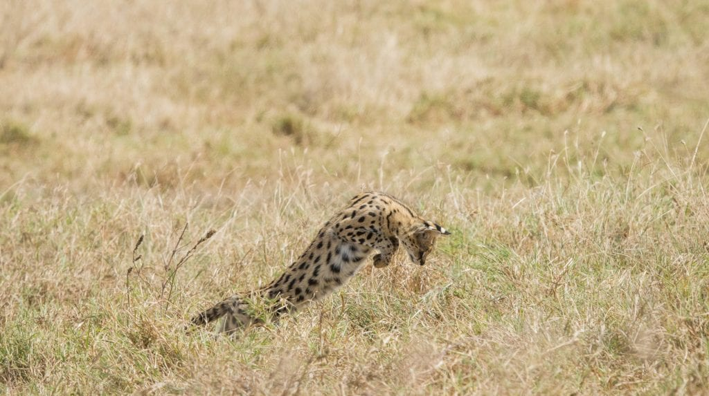 A serval cat pounces in a field