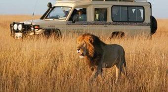 A safari vehicle observing a lion