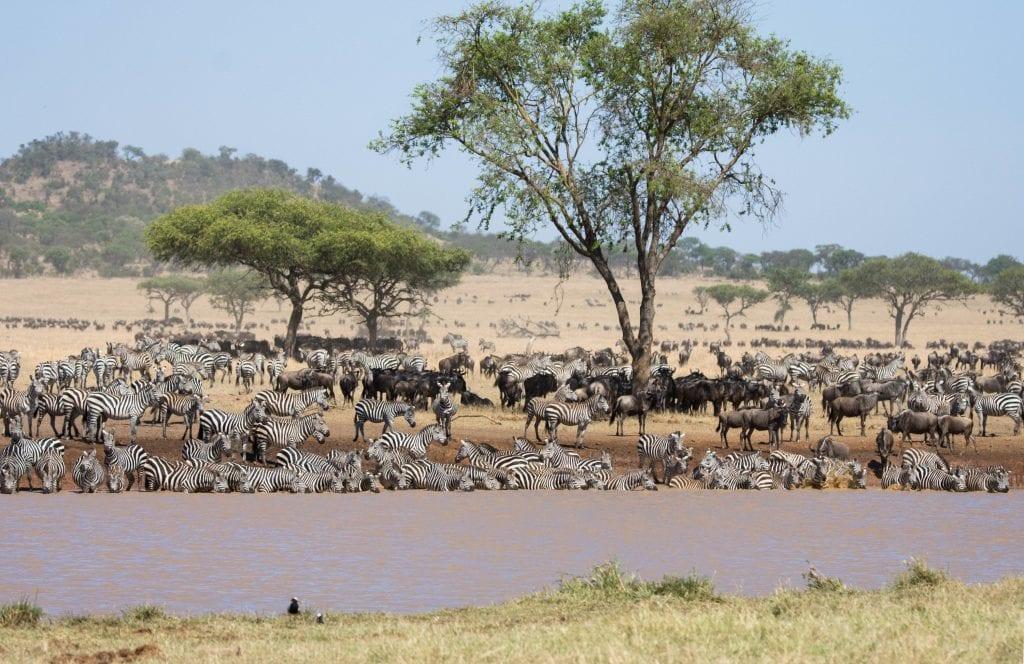 zebras at mara river