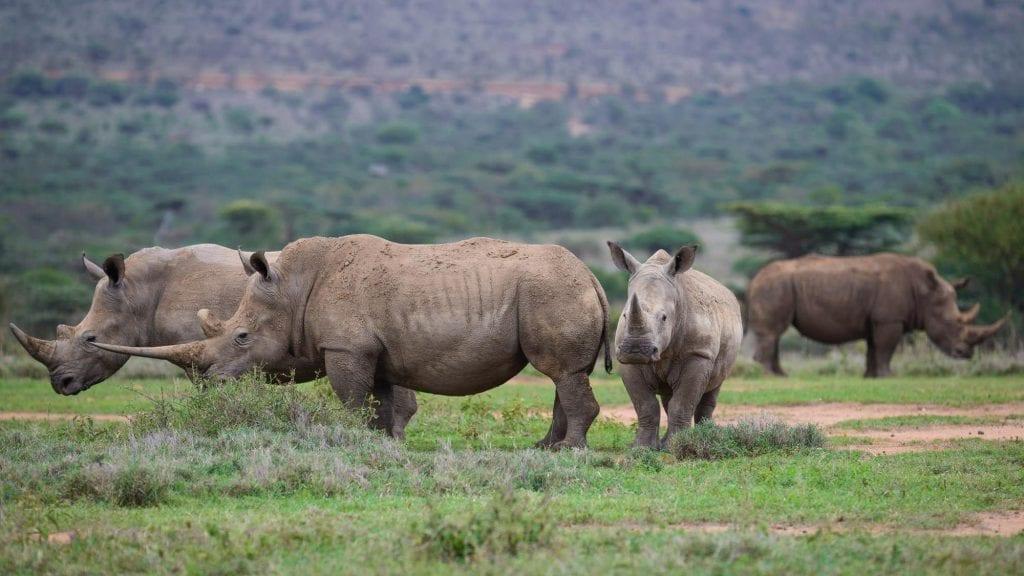 rhinos at Ol Jogi Ranch
