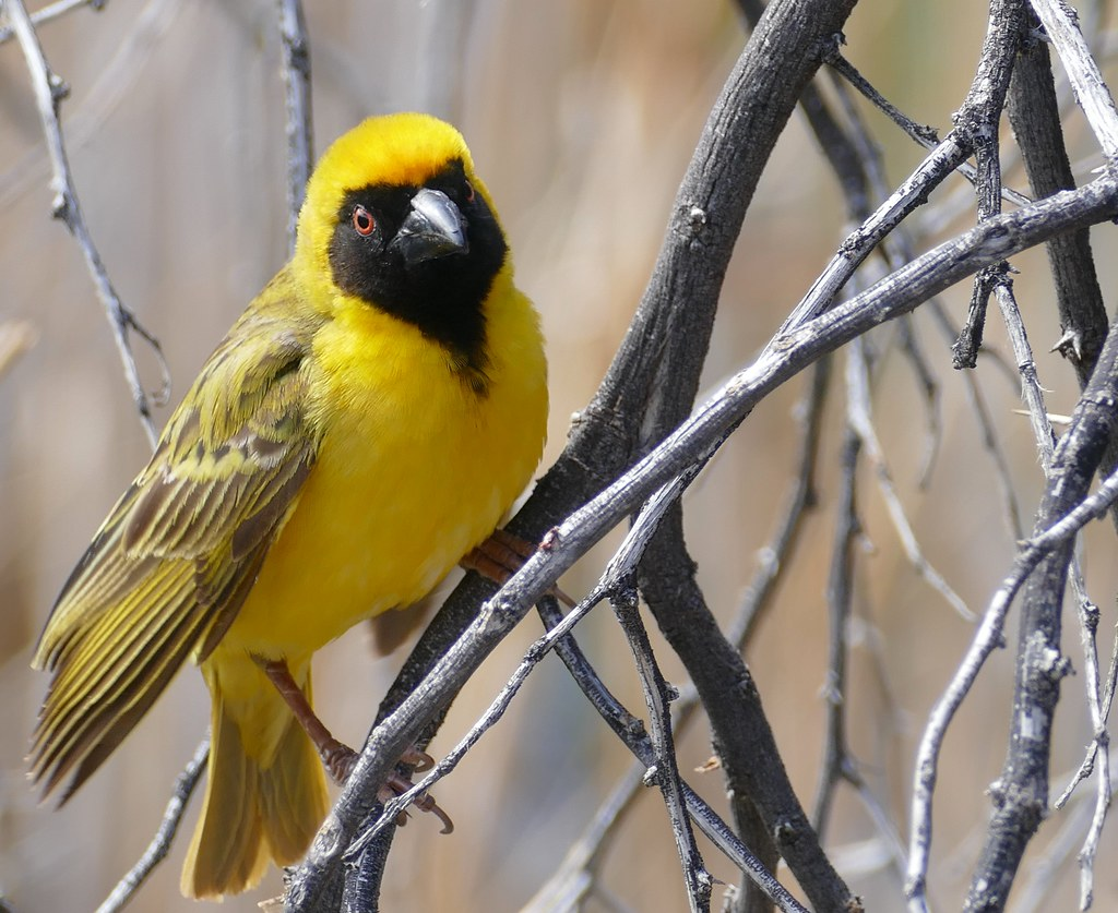 A masked weaver sits on a tree branch