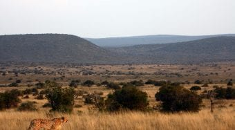 lone cheetah wandering the plains