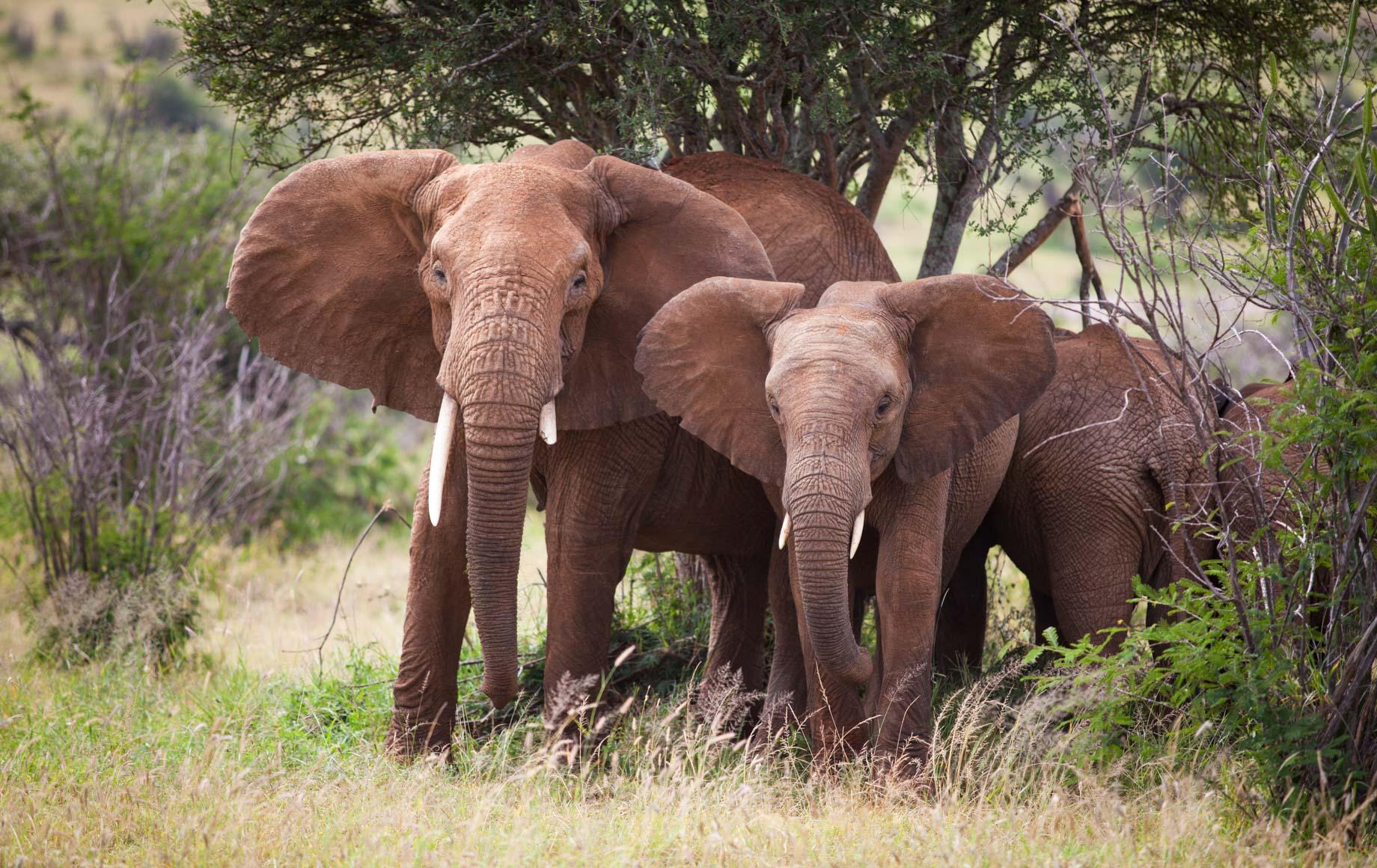 Elephants at Loisaba Conservancy