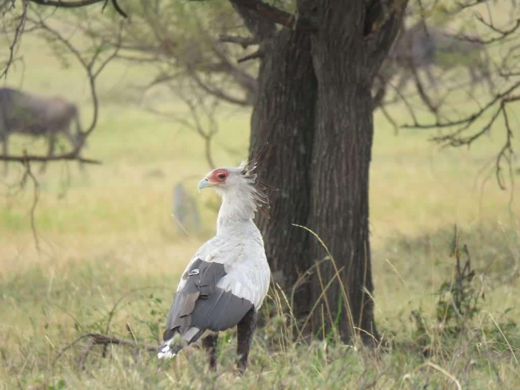 A secretary bird keeps watch in a field