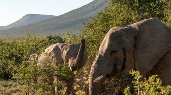elephants amongst treetops