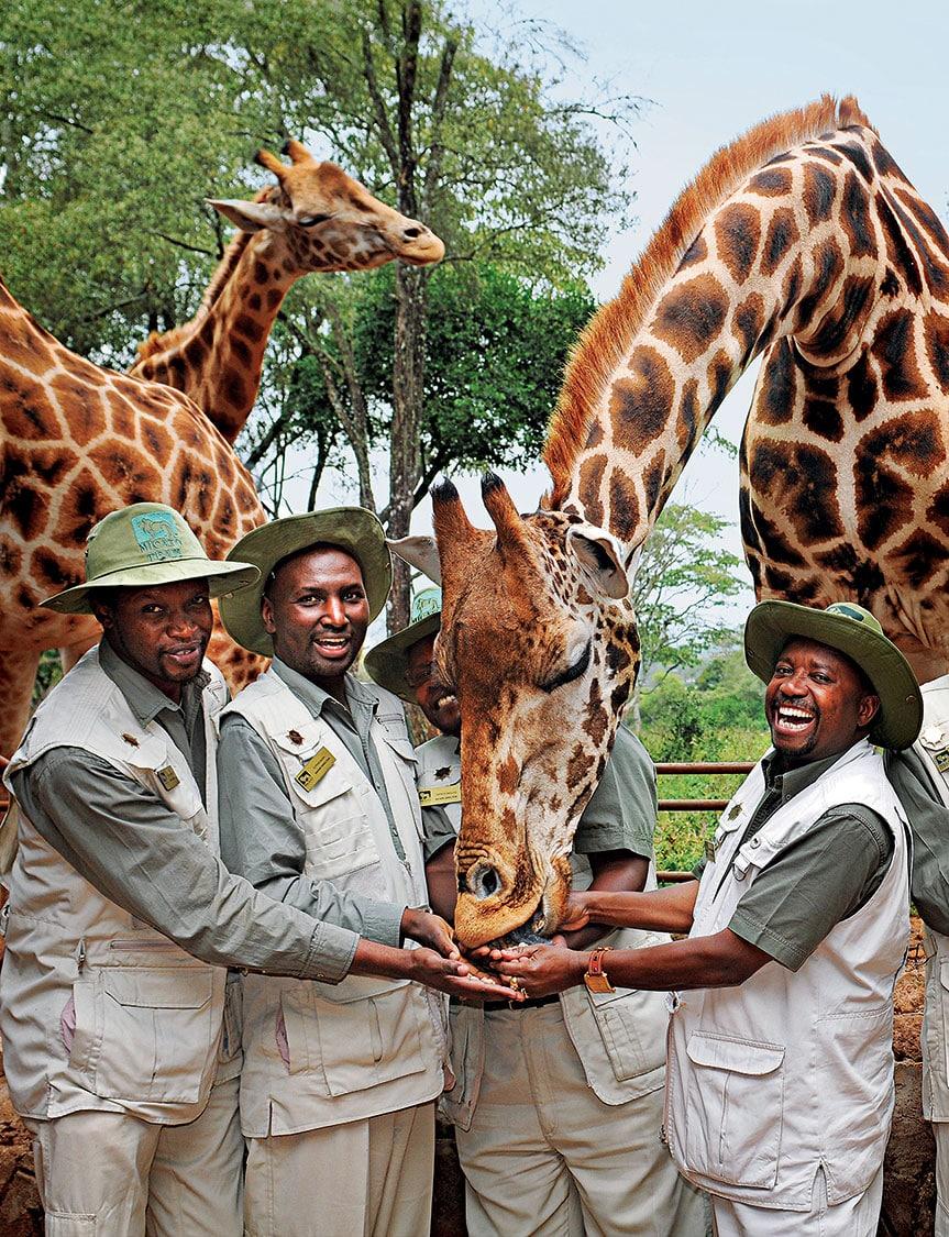 Safari directors with giraffes