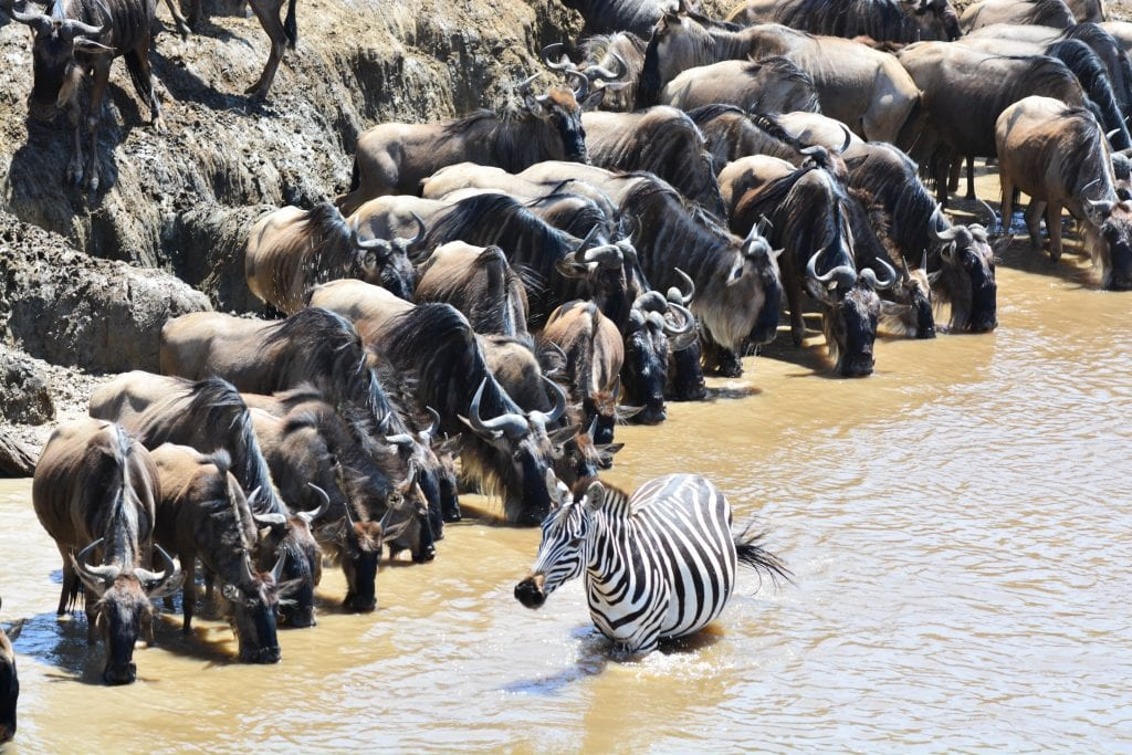 wildebeest and zebra at a watering hole