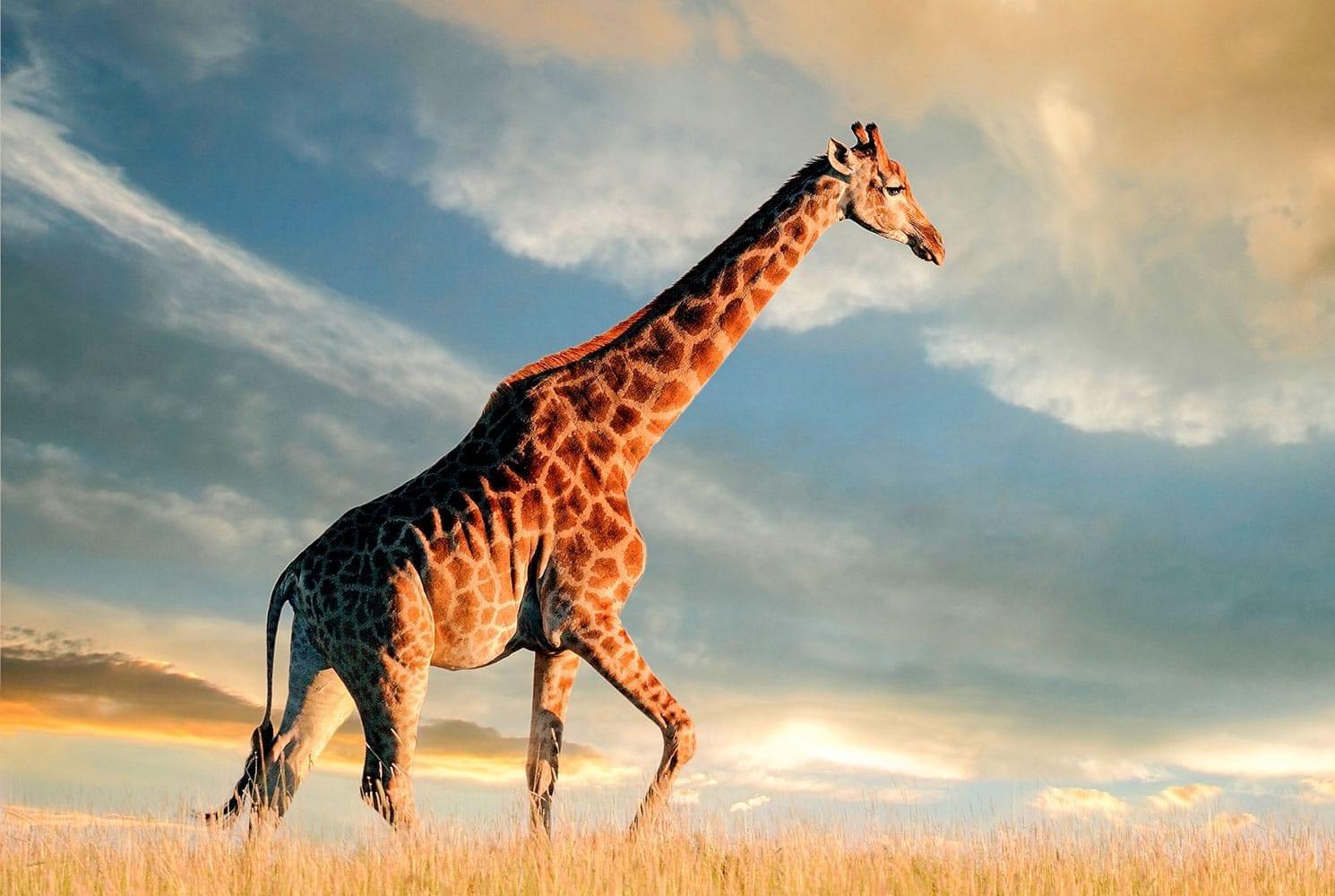 A giraffe in the grass during sunset