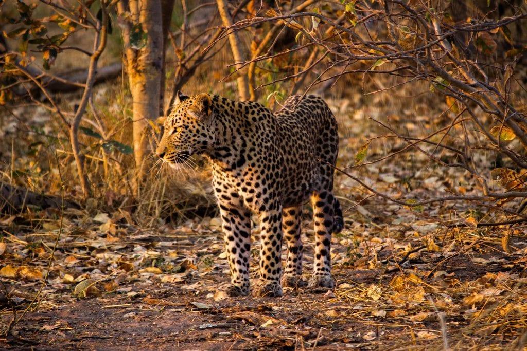 leopard in low light