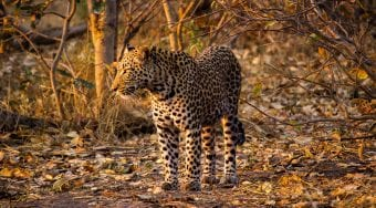leopard in low light