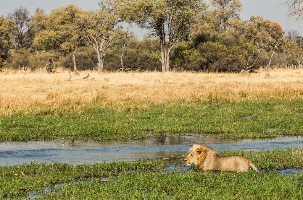 lion in okavango delta