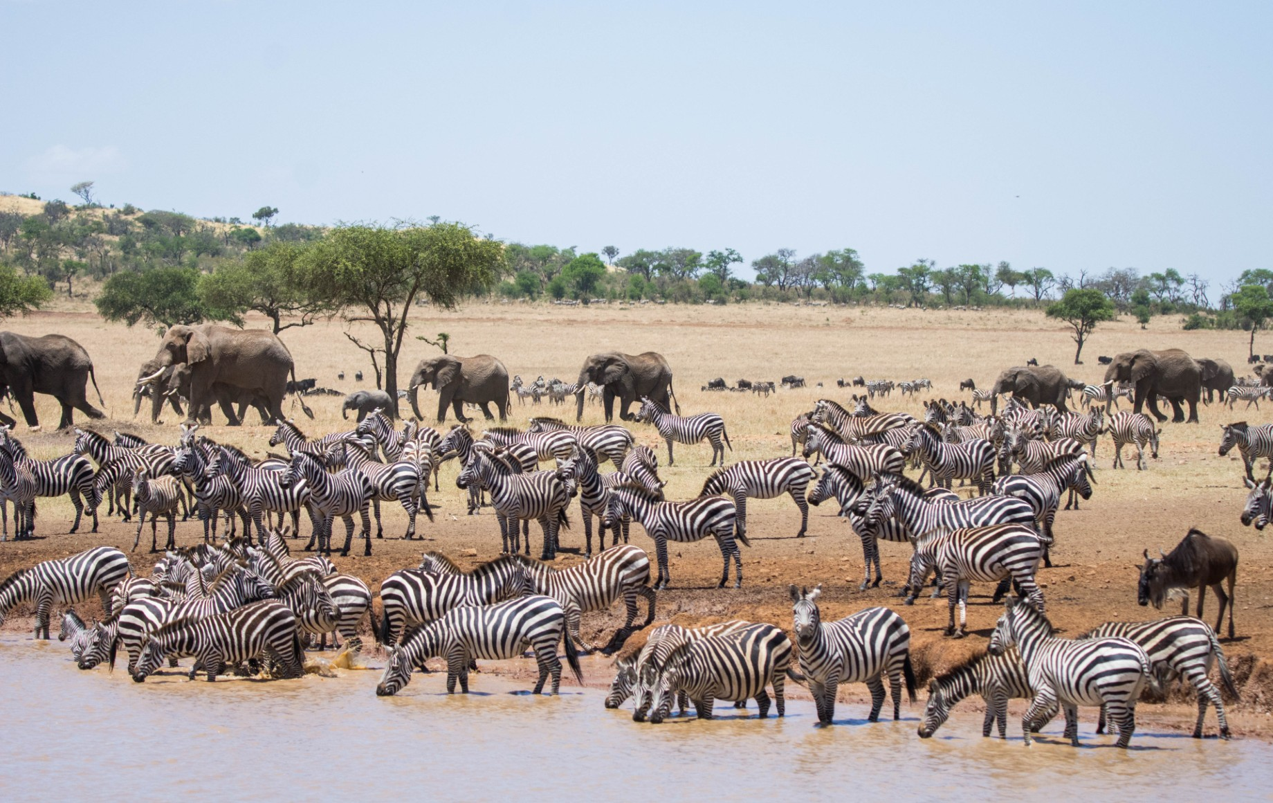 Zebras at a watering hole