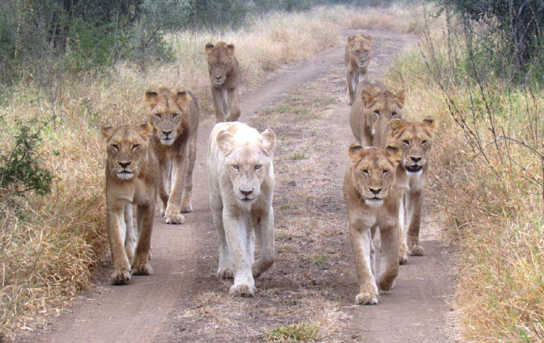 A group of lions walking