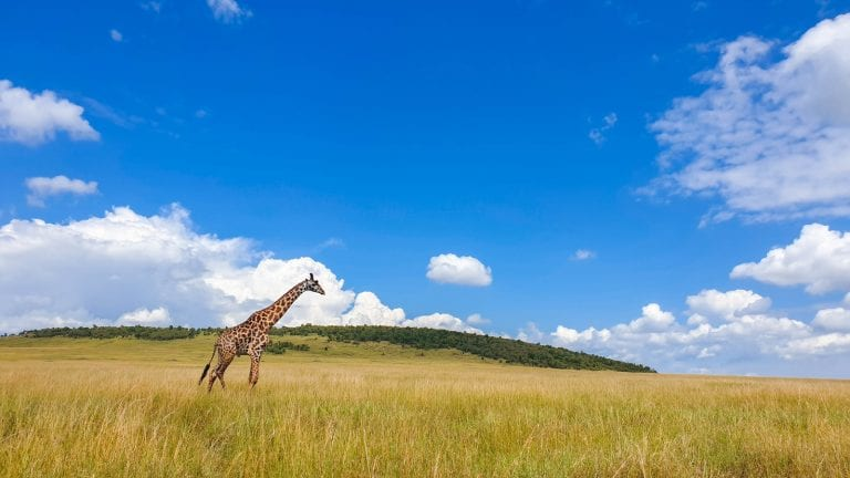 maasai giraffe walking across the maasai mara plains