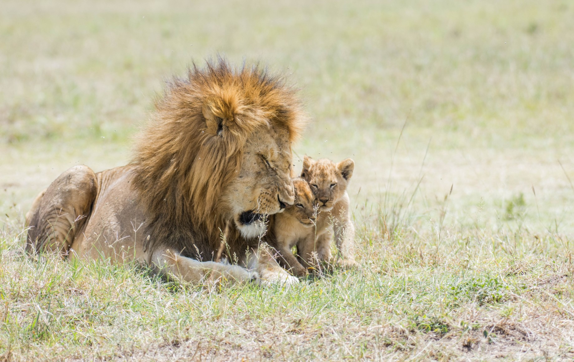 A lion and its cub