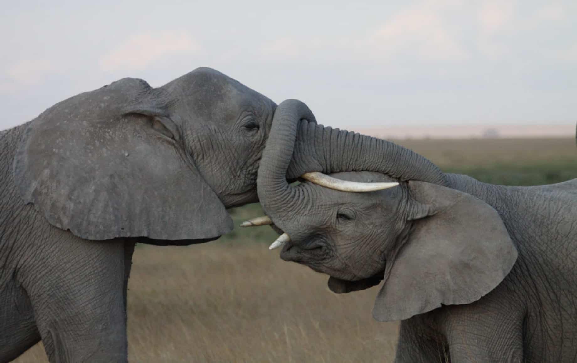 Elephants linking trunks