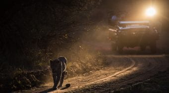 leopard at night on safari
