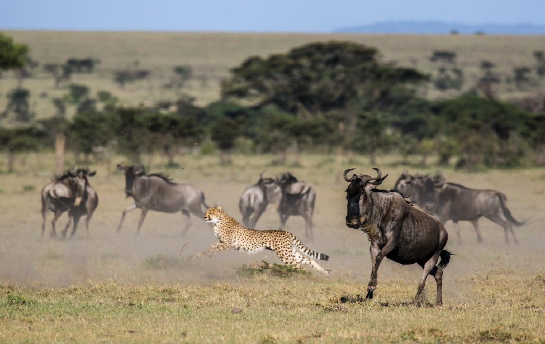 A cheetah chasing buffalo