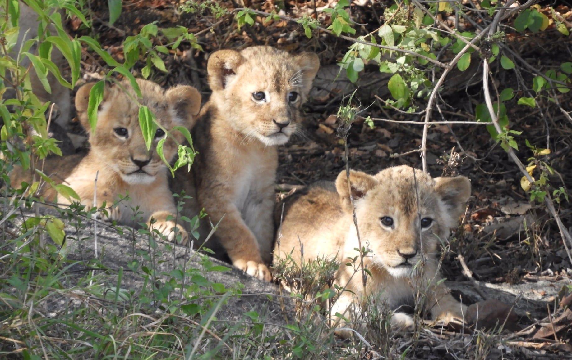Three baby cubs