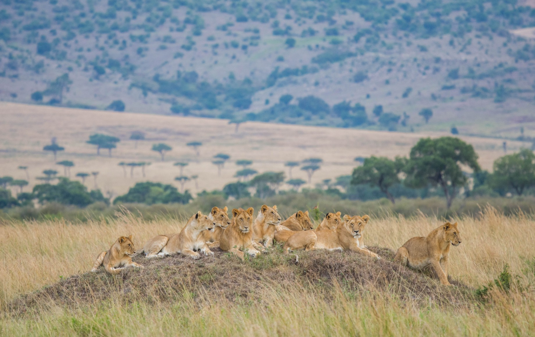 A number of lions on a rock