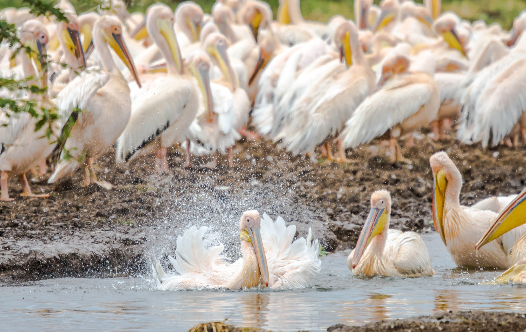 A number of pelicans in the water
