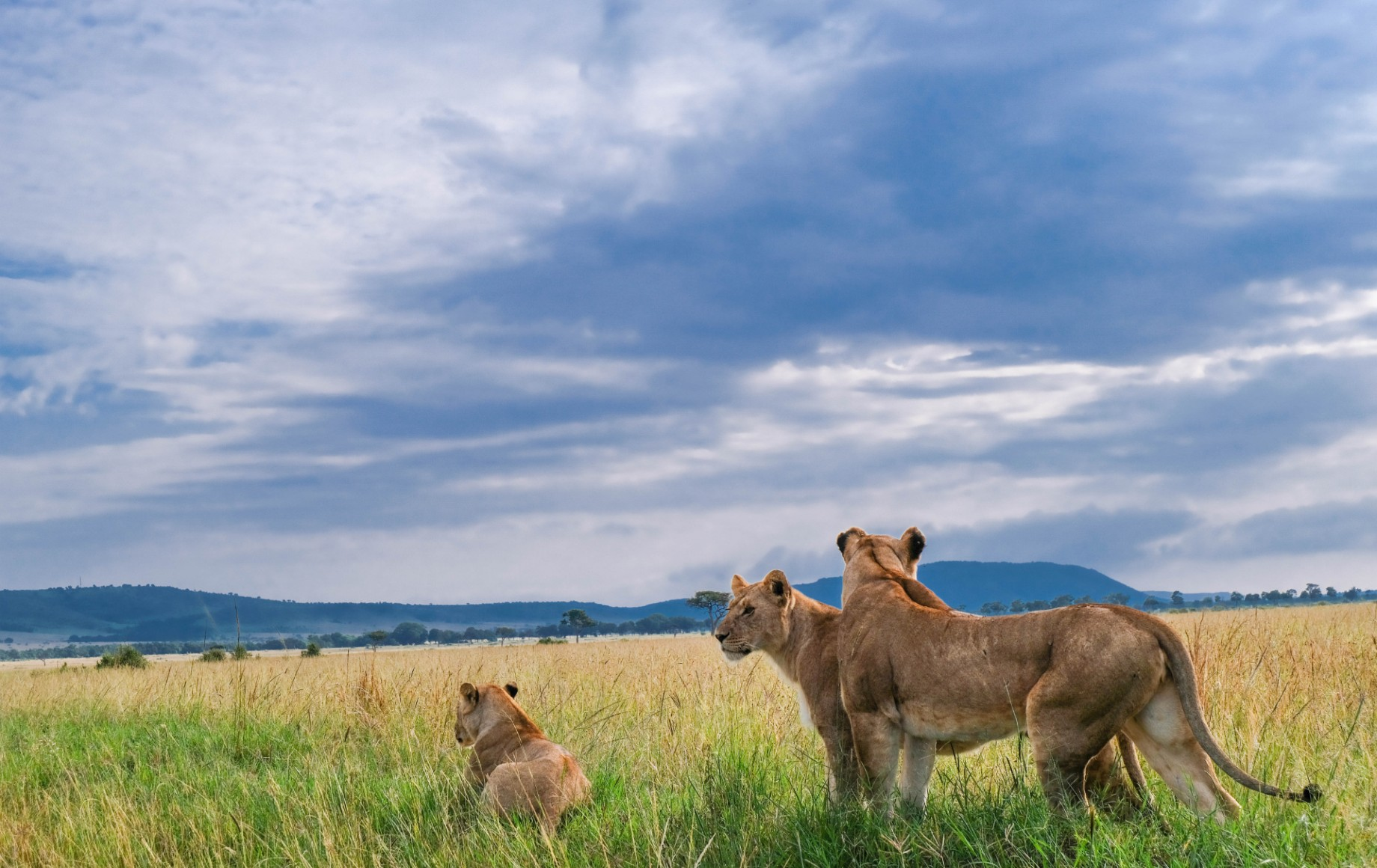 A family of lions in the grass