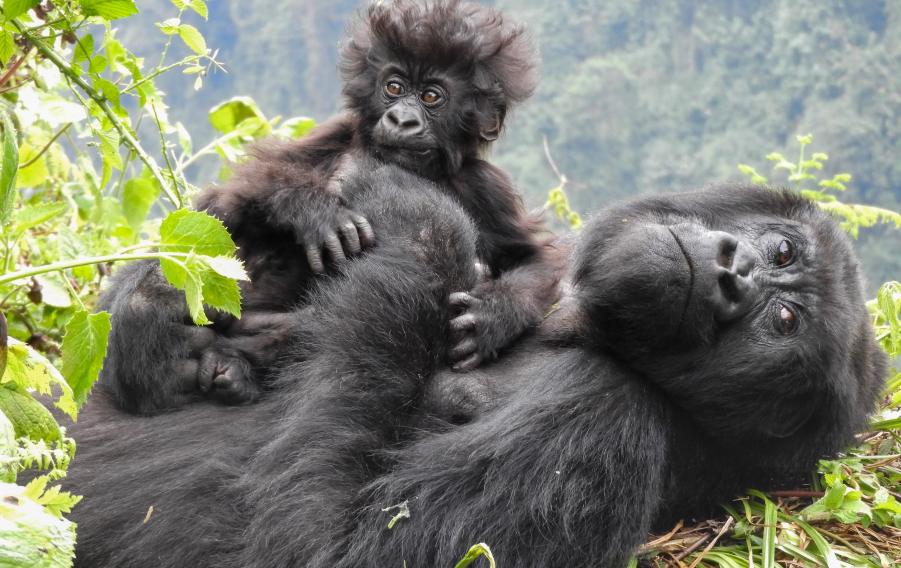 Two gorillas, a baby and an adult