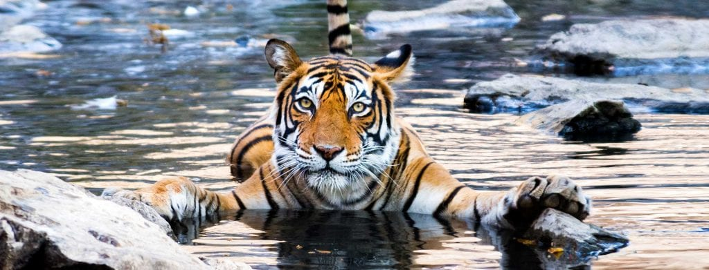 A tiger floating in the water while holding onto a rock with its front paws.