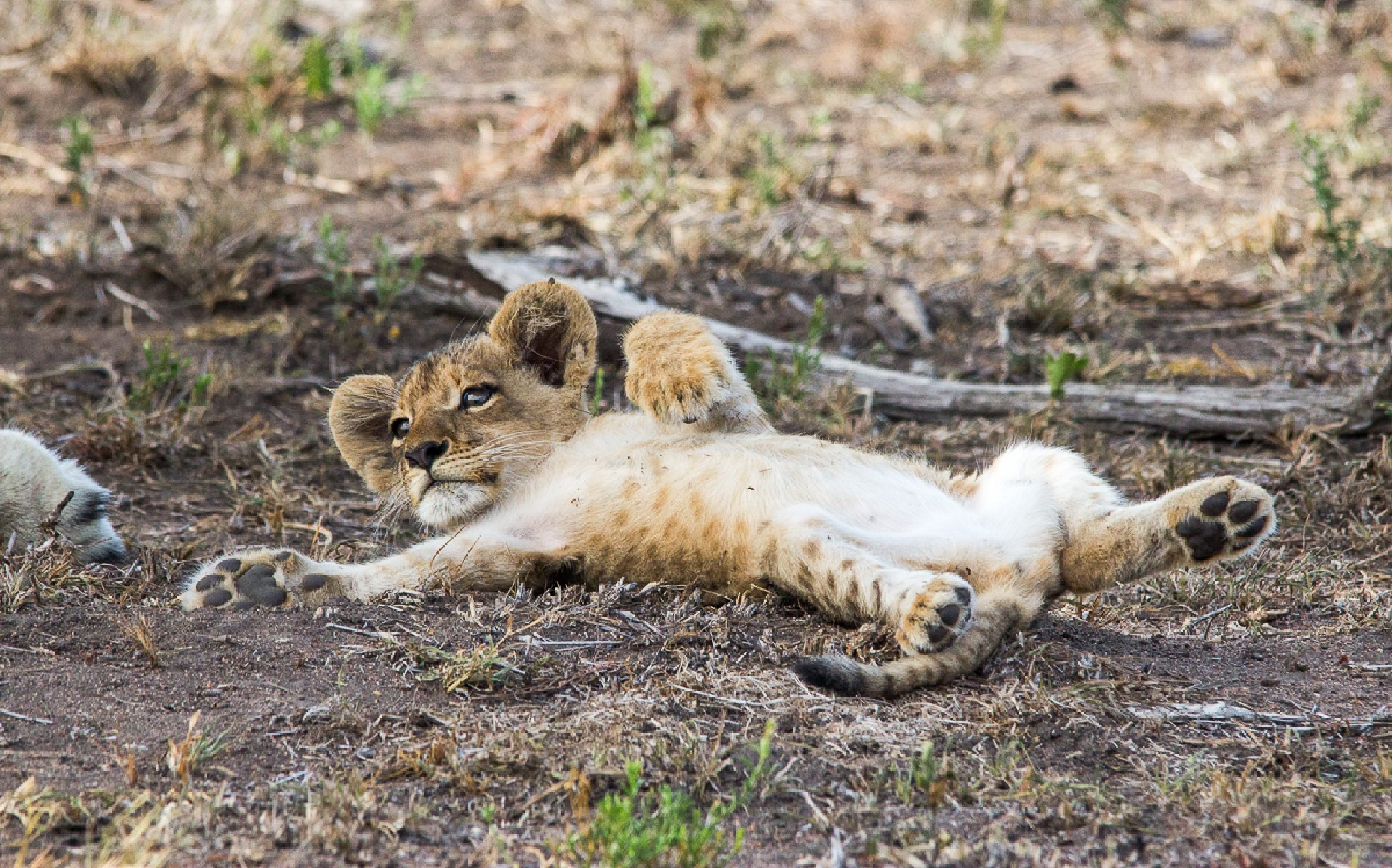 a lion cub laying on his back
