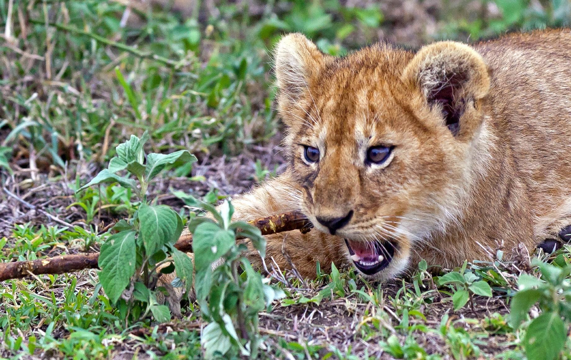 a lion cub eating